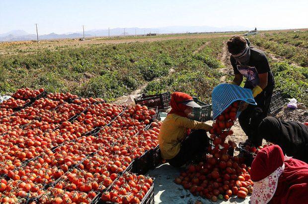 نرخ گوجه در مزرعه ۲۰۰ و در بازار ۲۰۰۰ تومان
