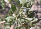 ۸۵ درصد به محصول پسته رفسنجان خسارت وارد شد