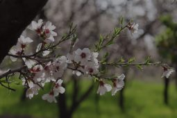 شکوفه های بهاری – روستای حسن آباد سیرجان