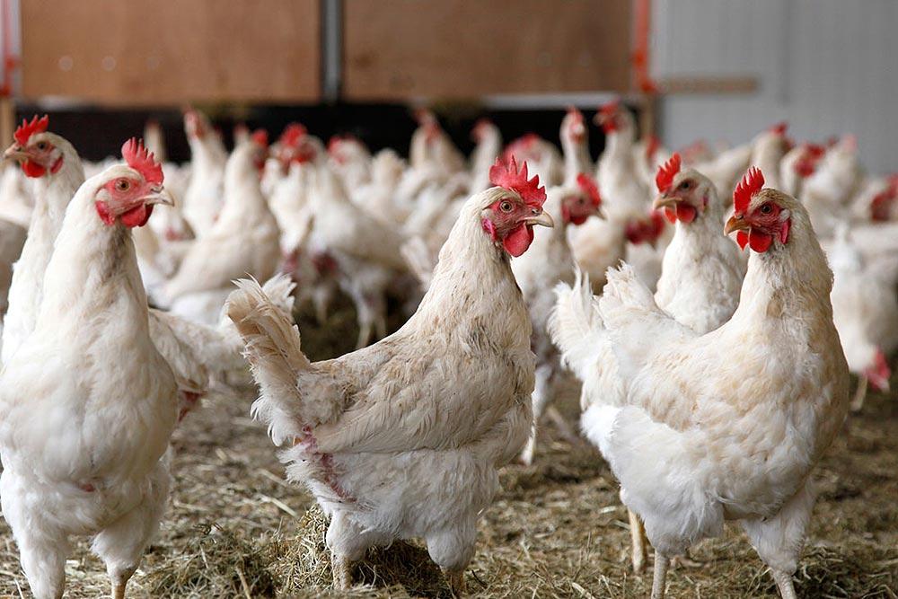 همچنان زور کرمانیها به مرغ نمیرسد