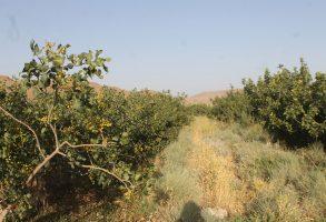 رهاسازی حشرات نر نابارور هلیوتیس در باغات سیرجان بنیاد