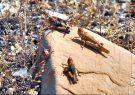 پایان مبارزه با ملخ صحرایی در جنوب کرمان