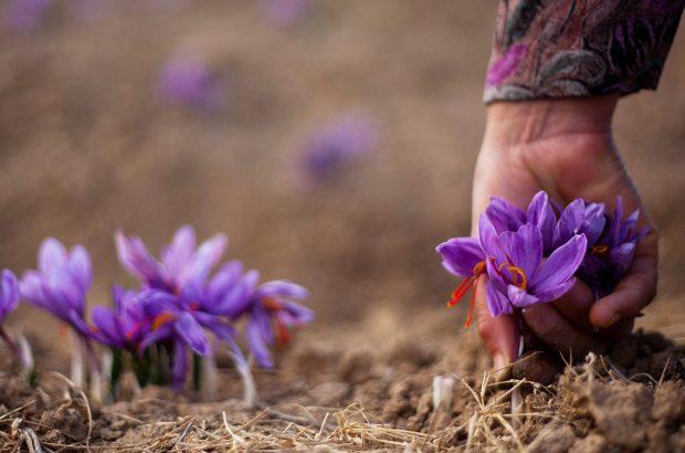 افزایش سطح زیر کشت مزارع زعفران سیرجان