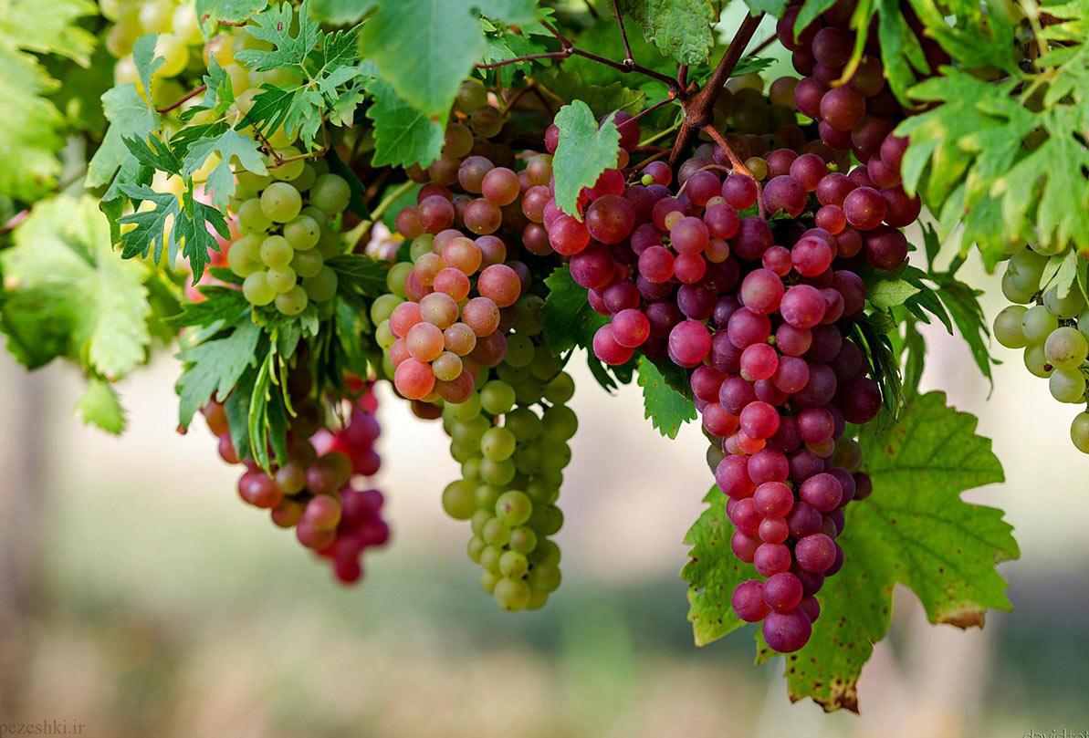۵۴ هزار تن میوه از باغهای استان کرمان برداشت می شود