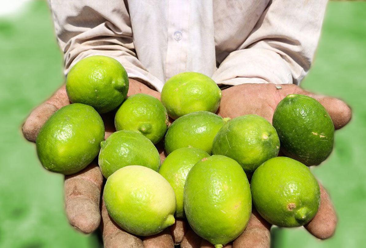 ۵۲ هزار تُن لیمو ترش از باغ های جنوب کرمان برداشت شد