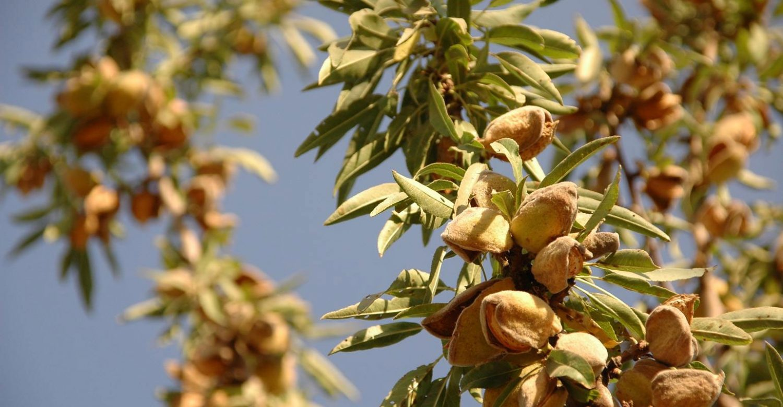 پیش بینی برداشت ۱۱ هزار تن محصول بادام در استان