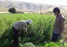 صادرات ۲۰۰ کیلوگرم برگ به لیمو از شهرستان سیرجان