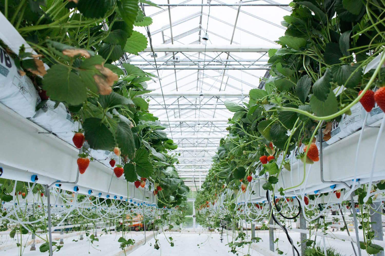 سطح زیر کشت محصولات گلخانهای سیرجان افزایش یافت