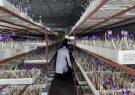 برداشت زعفران از گلخانه پشتبام بدون نیاز به خاک و آب در سیرجان