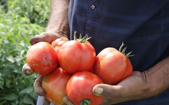استان کرمان مساعد تولید گوجه در زمستان